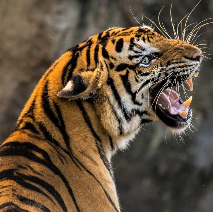 tiger-3264048 - Kopie